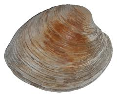 Northern Hard Shell Clam